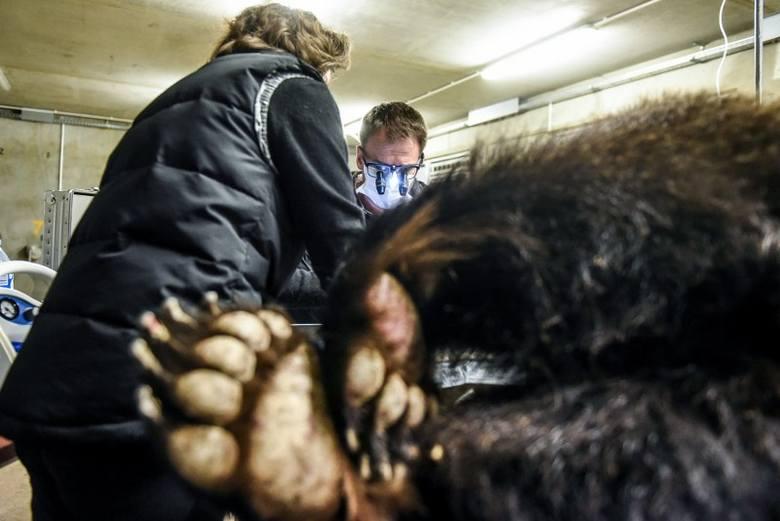 Niedźwiedzie w rękach lekarzy