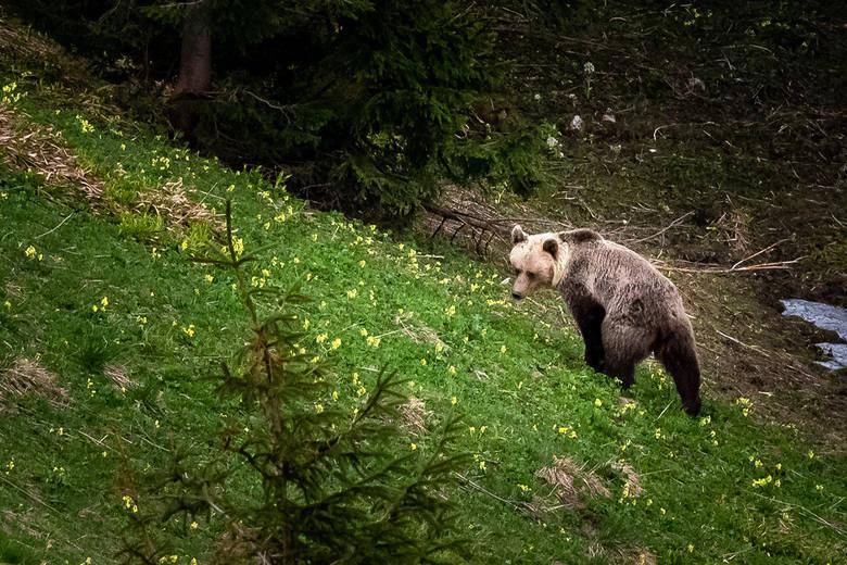 Tatry. Niedźwiadki wędrują blisko szlaków turystycznych - m.in. w dolinach Jaworzynki i Kościeliskiej