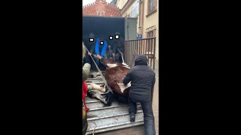 Koń upadł na ulicy w centrum Krakowa. Obrońcy zwierząt reagują