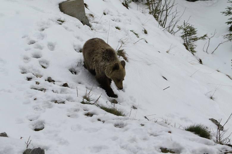Nie tropmy niedźwiedziej rodzinyGdy zaobserwujemy ślady niedźwiedzia na śniegu, nie szukajmy go. Może się bowiem okazać, że to małe niedźwiedzie z matką.