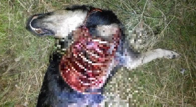 - Jestem przerażona. Ktoś pozbawił tego psa życia w tak bestialski sposób - mówi drżącym głosem Joanna Zubowicz z Otoz Animals Inspektorat Zielona Góra.