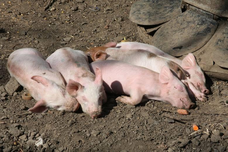 Wojewoda informuje, że 1 sierpnia w godzinach popołudniowych, potwierdzono wystąpienie ogniska afrykańskiego pomoru świń w gospodarstwie, w którym utrzymywane