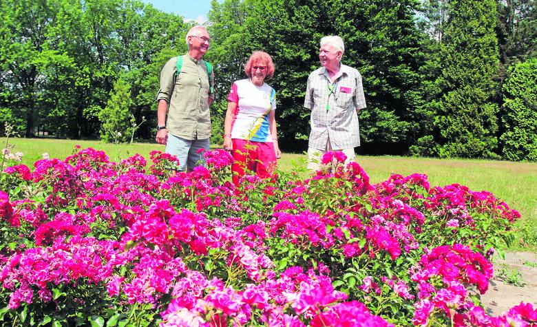 Trzy lata temu Parkowa Akademia Wolontariatu wysadziła w Rosarium te właśnie piękne róże, pracowała społecznie