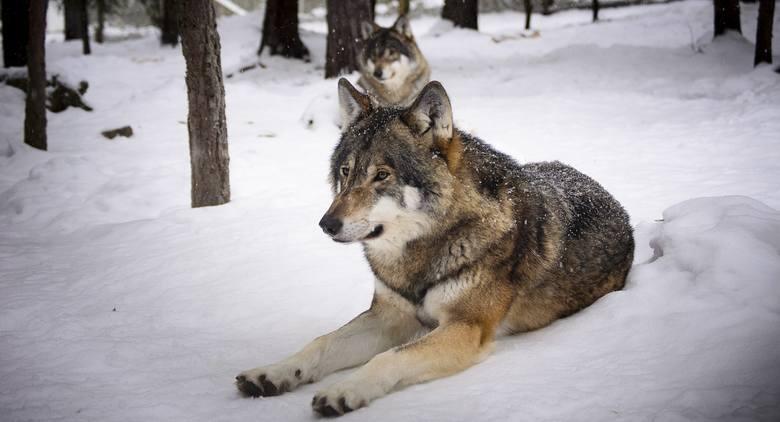 Wilki powinny bać się ludzi, ale coraz częściej to ludzie obawiają się tych drapieżników.