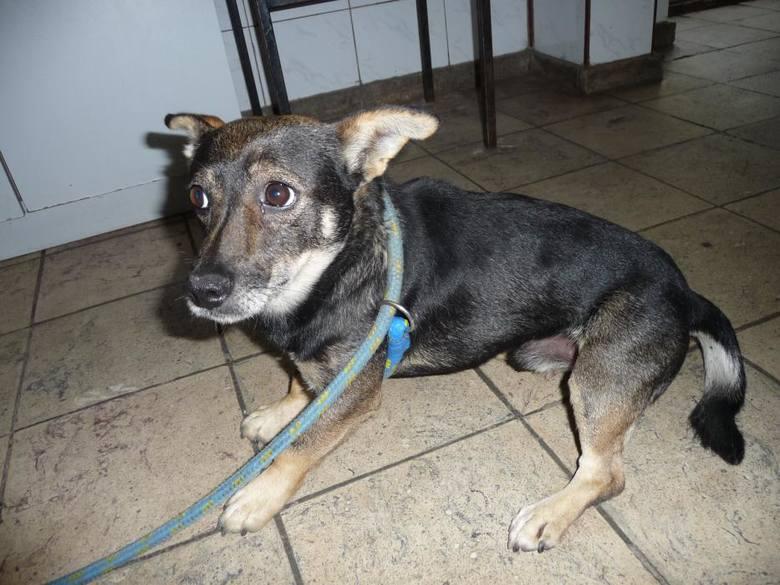 Mały pies przywieziony 26 lipca z ul. Podmurnej w Toruniu.Zobacz także:Wiele młodych zwierząt w toruńskim ogrodzie zoobotanicznymNowosciTorun