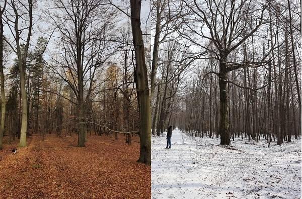 Trwa zbiórka podpisów przeciw wycince starych buków w Lasach Murckowskich w Katowicach