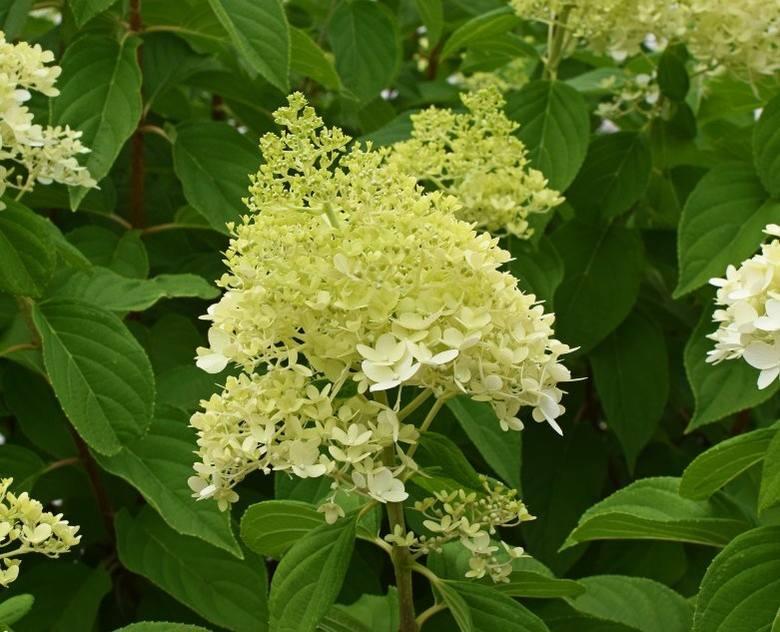 Hortensje bukietowe (Hydrangea paniculata) z roku na rok stają się coraz bardziej popularne. Ich kwiatostany są wydłużone i stożkowate – to bardzo charakterystyczna