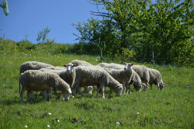 Powiat miechowski. Od 10 lat chronią krajobraz. Pomagają im w tym... owce