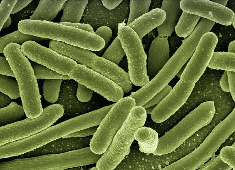 Do bakterii krytycznych dla zdrowia należy pałeczka okrężnicy Escherichia coli, która normalnie bytuje w jelicie grubym. Występuje w wodzie i glebie,