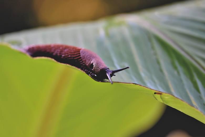 Ślimaki to jedne z najbardziej uciążliwych stworzeń, jakie mogą opanować nasz ogród. W szczególności ślimaki nagie (bezskorupowe), bo wiele ich gatunków
