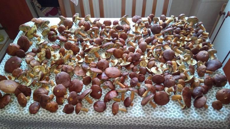 W opolskich lasach prawdziwy wysyp grzybów.