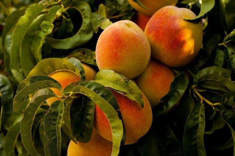 Owoce pestkowe bardzo źle reagują na skoki temperatur w okresie wzrostu. A takimi zjawiskami niestety mamy do czynienia już od wielu lat.Czy wyginiemy