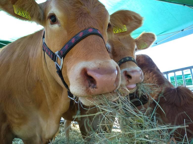 Będzie nawet 600 zł dopłaty do krów i świń za podwyższony dobrostan