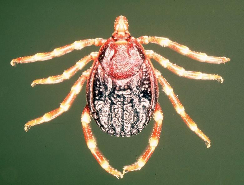 Afrykańskie kleszcze: HyalommaChoć kleszcze to nie owady, lecz pajęczaki, ich afrykańska odmiana niewątpliwie należy do gatunków inwazyjnych. Kleszcze
