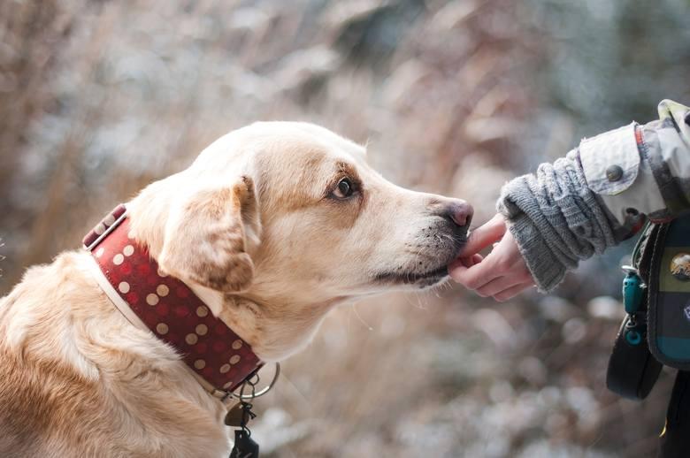 Nowy Sącz. Straż Miejska apeluje o zakładanie psom obroży wraz z kontaktem do właściciela
