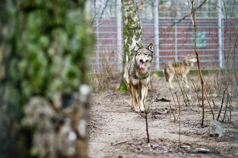 Wilki już wkrótce przeniosą się na wyremontowany wybieg. W miejscu, w którym teraz przebywają pojawią się irbisy.