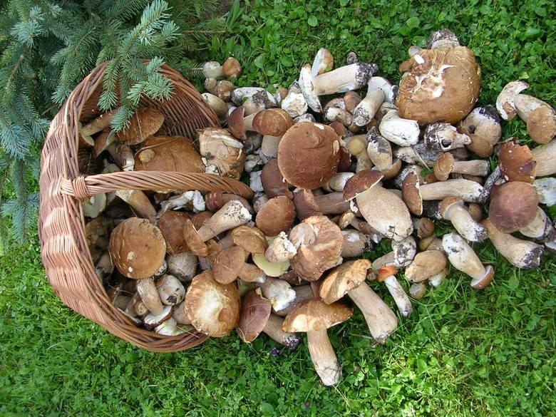 Leśnicy: Szczodrze sypnęło grzybami prawdziwymi po bieszczadzkich lasach. I nie tylko tam