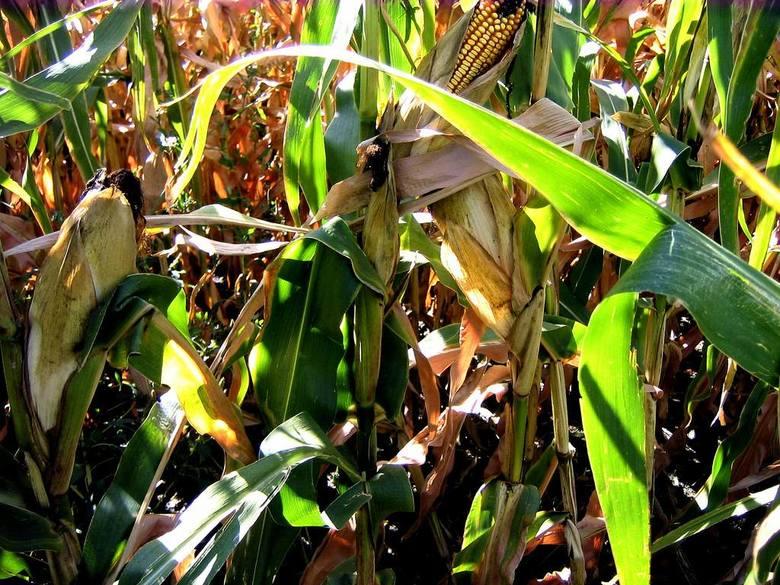 Niewielkie straty u świętokrzyskich rolnikówSzkodnik omacnia prosowianka dotyka przede wszystkim te odmiany roślin, które są hodowane na ziarno. Świętokrzyscy