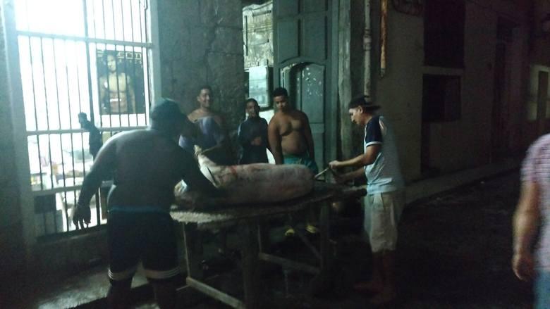 Dzień przed wigilią na calle Sol grupa młodych Kubańczyków przygotowywała prosiaki do pieczenia