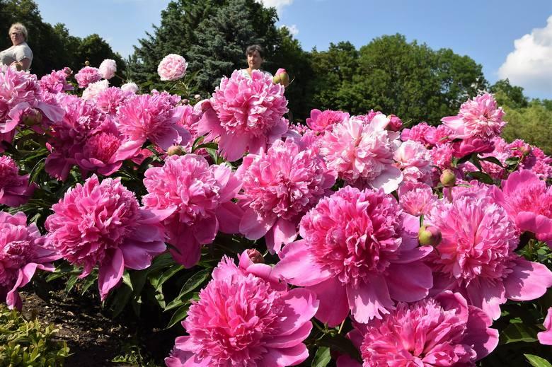 Zachęcamy do odwiedzania ogrodów zapachowych w inowrocławskich Solankach. Jest tam teraz niezwykle kolorowo. Co prawda, powoli przekwitają już intensywnie