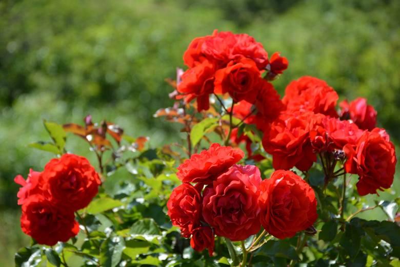 Czerwony kolor jest bardzo wyrazisty. Kwiaty w takim kolorze są więc bardzo mocnym i doskonale widocznym akcentem ogrodu. Czerwień kwiatów bywa bardzo