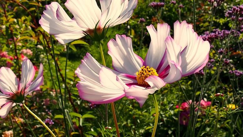 W maju do gruntu można siać i sadzić wiele roślin. Są jednak pewne ograniczenia i na kilka rzeczy trzeba zwrócić uwagę. Zobacz kolejne zdjęcia/plansze.