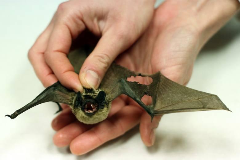 To jedyne ssaki posiadające zdolność do aktywnego lotu.