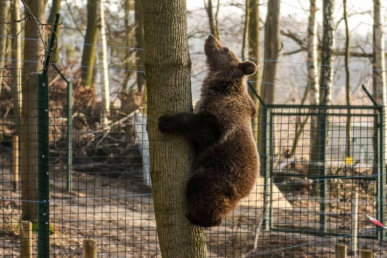 Cisna rośnie jak na drożdżach! Gdy trafiła do poznańskiego zoo ważyła zaledwie 7 kilogramów. Teraz niedźwiedzica ma nowy wybieg, gdzie dokazuje do woli z mastifem tybetańskim Barim. Z łatwością też wspina się na drzewa. Zobaczcie, jak wyrosła ulubienica pracowników i odwiedzających poznańskie...