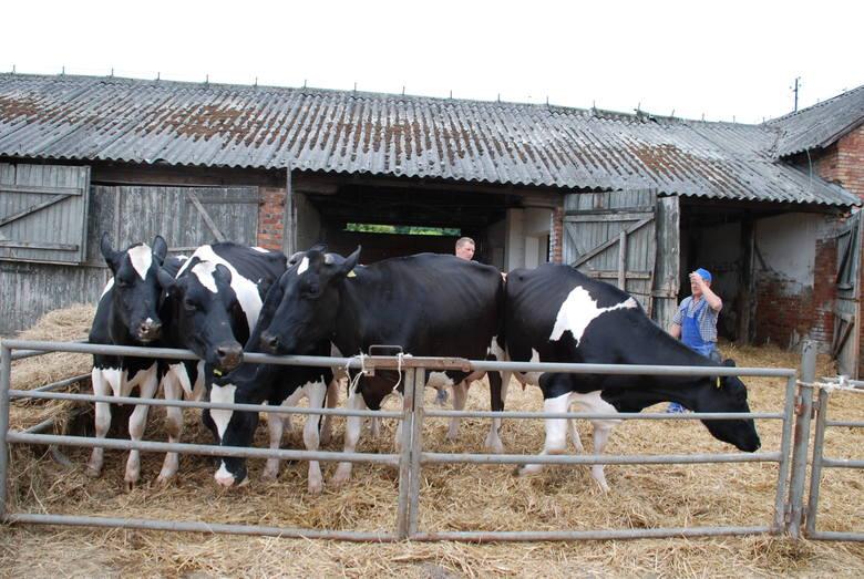 Superczempionki z Osięcin nagrodzone na wystawie bydła w Szepietowie