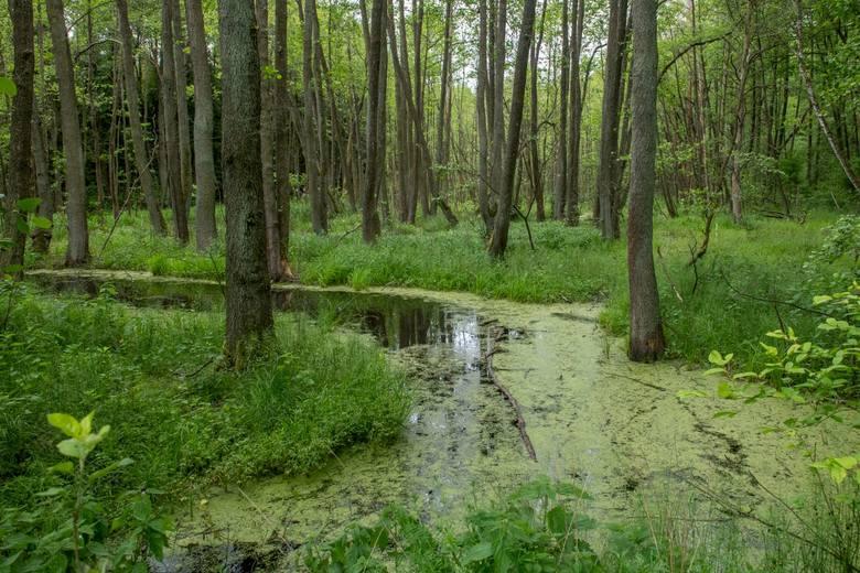 Nadleśnictwo Oborniki to ponad 20 hektarów lasu, który tworzy kilka leśnictw. Króluje tu sosna, której powierzchnia zajmuje ok. 93 procent. Ta monokultura przeplatana jest jednak prawdziwymi perełkami gatunków i siedlisk objętych ochroną prawną.