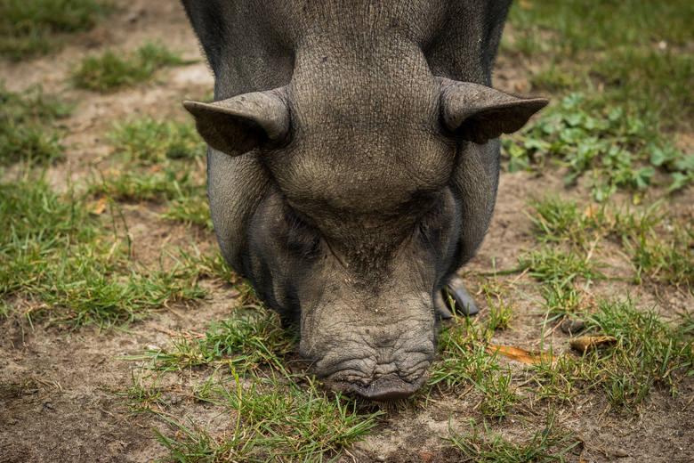 """Azyl dla świń """"Chrumkowo"""": raj dla zwierząt, które potrzebują pomocy"""