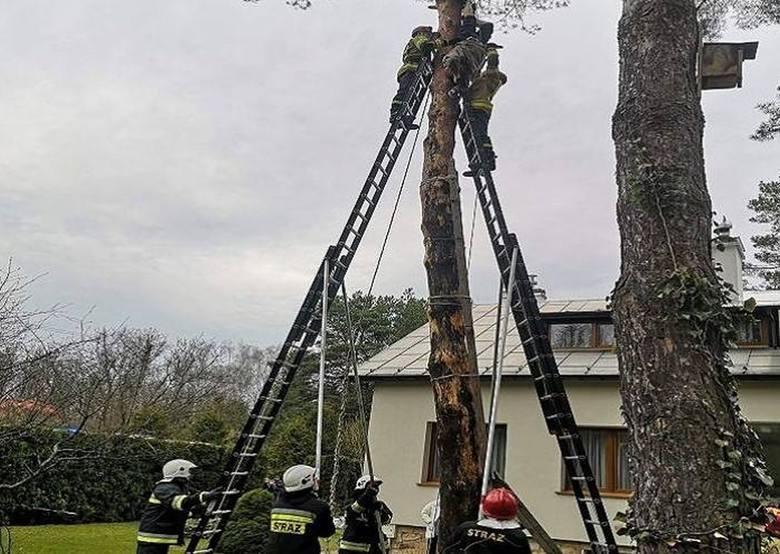 69-latek przy pomocy przymocowanych do butów drzewołazów i liny wspiął się na kilkunastometrową sosnę. Gdy był na wysokości około 12 metrów, lina, którą