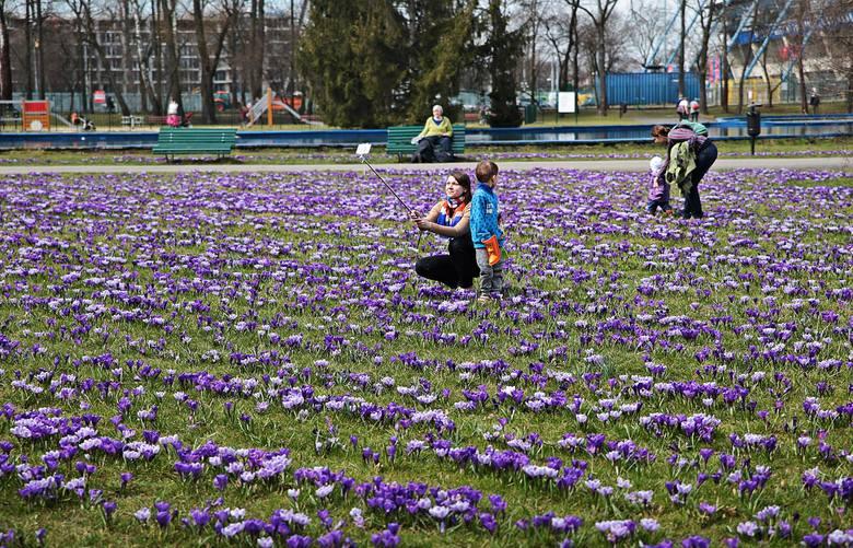 Kraków Krokusowy Dywan W Parku Jordana Zdjęcia