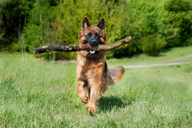 Na trzecim miejscu znalazły się owczarki niemieckie. Zdaniem amerykańskich naukowców, zagrożenie stanowią także psy z szerokimi i krótkimi głowami, ważące
