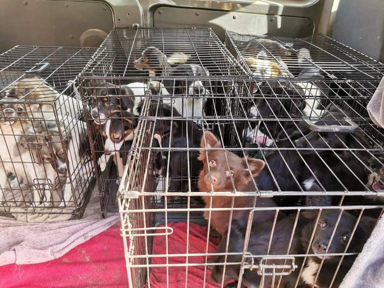 """Psy stłoczone w klatkach to już znany obrazek, jeśli chodzi o zwierzęta """"pod opieką"""" niemieckiej właścicielki. Rok temu blisko 400"""