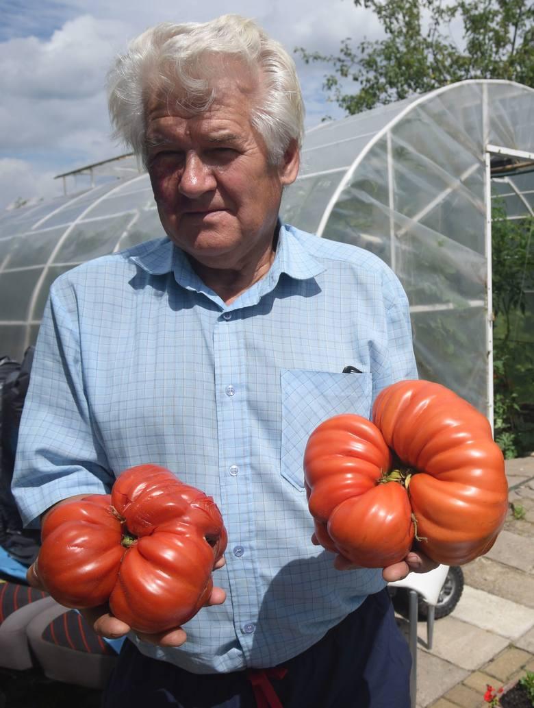 Gigantyczne pomidory z działki pana Ryszarda