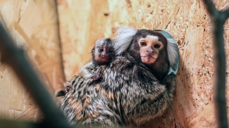 """Kilka dni temu w zoologicznej części marketu """"Majster"""" w Dębicy na świat przyszła małpka rozeta białoucha (uistiti)."""