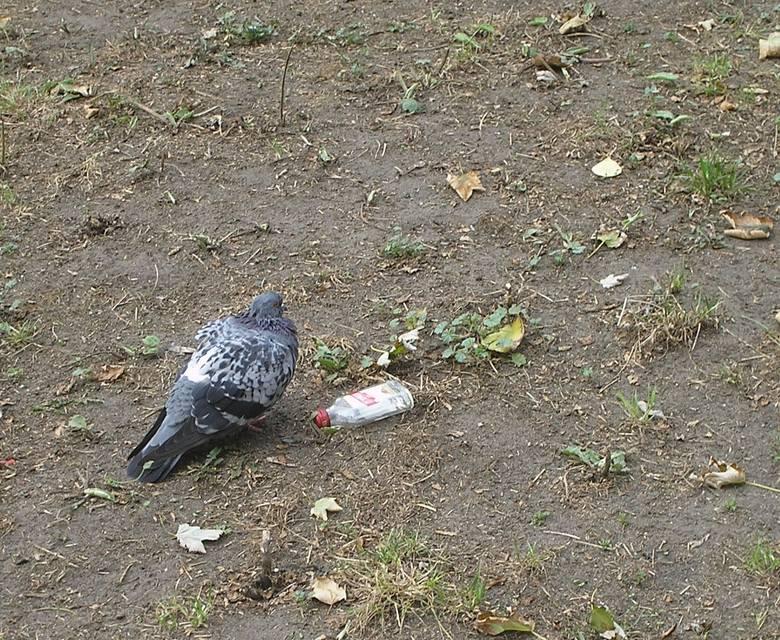 Niedaleko Komendy Wojewódzkiej Policji w Łodzi, przy ul. Czarnkowskiego, ktoś w zeszłym tygodniu zastrzelił gołębia. O zamachu na ptaka przechodnie zawiadomili