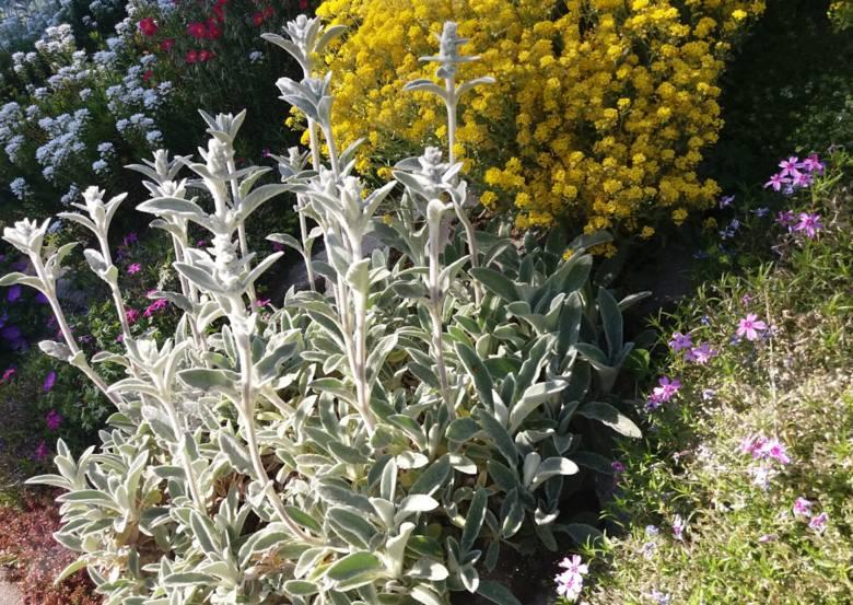 Czyściec wełnisty (Stachys byzantina) jedna z bardziej popularnych, a jednocześnie atrakcyjnych roślin o srebrnych liściach. Tę barwę nadaje gruba warstwa