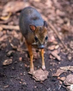 Myszojeleń ma imię! Łodzianie wybrali imię dla młodego kanczyla z łódzkiego zoo