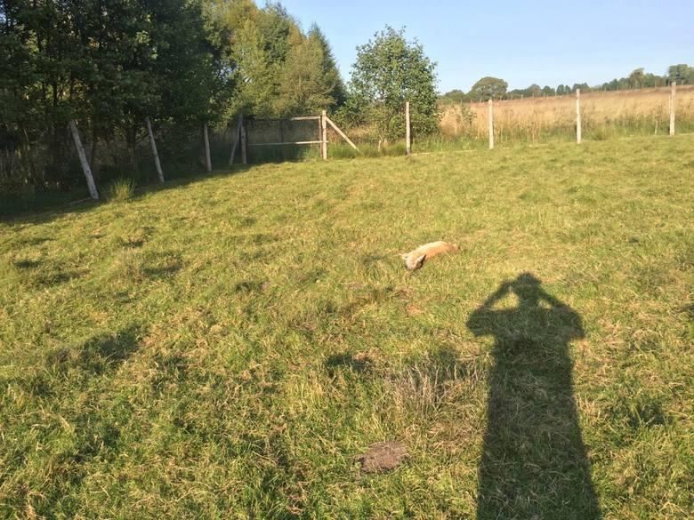 Wilki zagryzły stado danieli pod SzubinemWłaścicielka hodowli wezwała na miejsce policję, jednak okazało się, że napastnikami były drapieżniki.