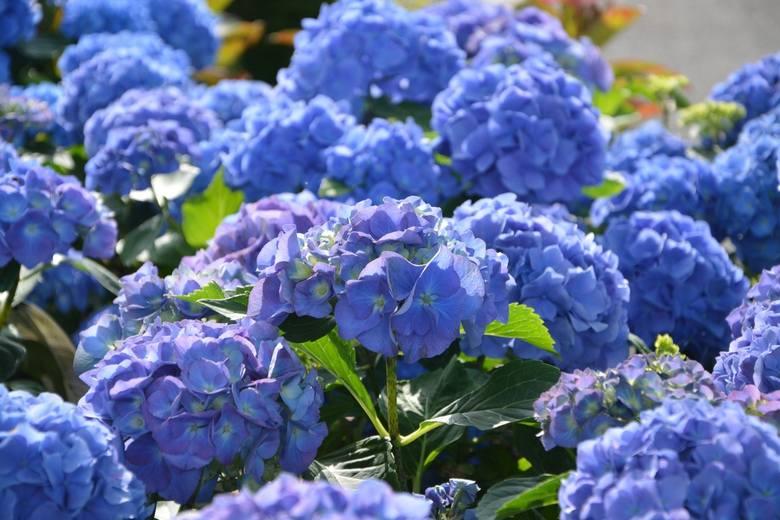 Rabaty kwiatowe w jednym kolorze mają swoich zwolenników. Ale jeśli zdecydujemy się na miks kolorystyczny, warto wiedzieć, jaki mamy wybór. Jeśli chcecie