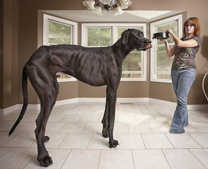 Zeus - pies, który był najwyższy na świecie.