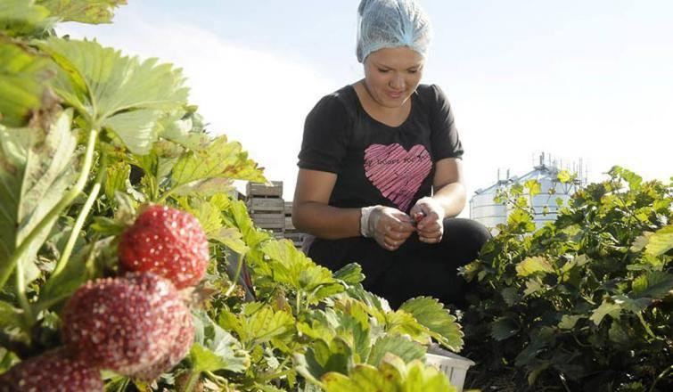 Zbieranie truskawekW tym roku na zbiorze truskawek można zarobić przeciętnie 13 złotych brutto za każdą przepracowaną godzinę. Jeżeli rozliczenie jest