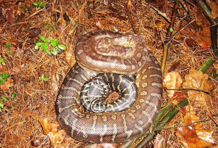Ul. Pietrasze. 34-latek, który porzucił dwumetrowego węża boa zatrzymany (zdjęcia)