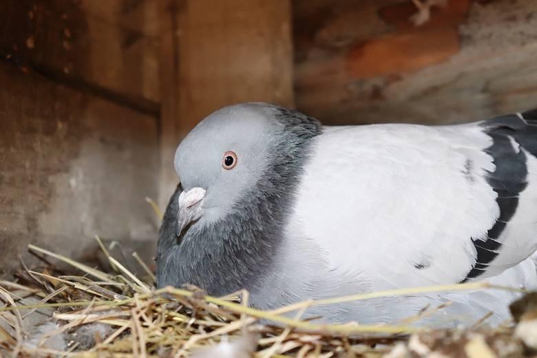 Nie dokarmiać gołębiWiele osób myśli, że podrzucając kawałki pieczywa, czy ziarna na trawnik w parku, czy wokół domu lub bloku to w ten sposób dokarmiając