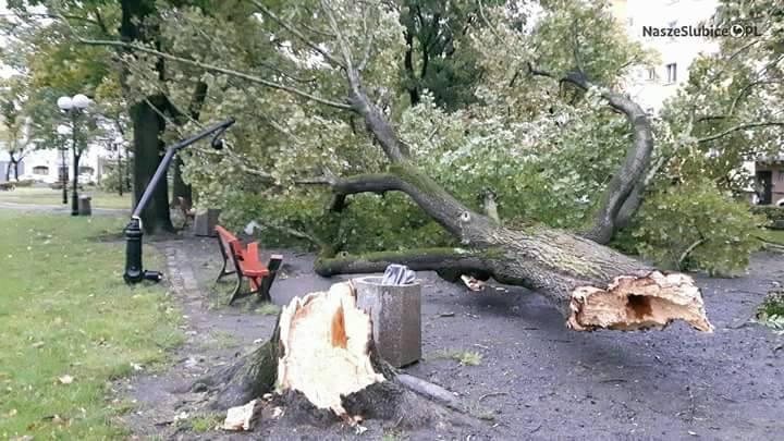 Powalone drzewo w Słubicach.Zobacz więcej:   [NA ŻYWO] Orkan Ksawery w Lubuskiem. Jest ofiara śmiertelna