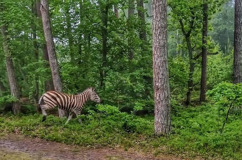 """W czwartek 11 czerwca pracownicy Lasów Państwowych przecierali oczy ze zdumienia. Podczas rutynowych obchodów leśnicy napotkali... zebrę. """"W"""
