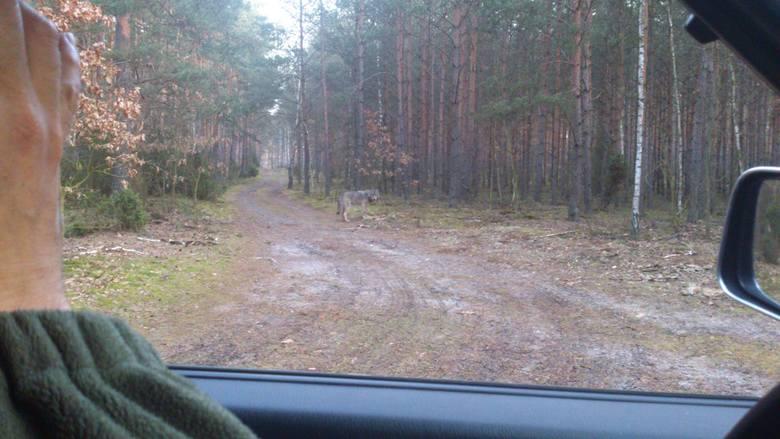 Zdjęcia potwierdzające występowanie wilków w regionie kilka lat temu opublikowało m.in. Nadleśnictwo Dobrzejewice.