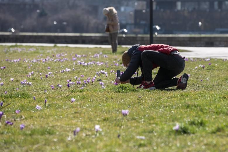 Wiosną w łódzkim Ogrodzie Botanicznym zakwitnie 100 tys. fioletowych krokusów